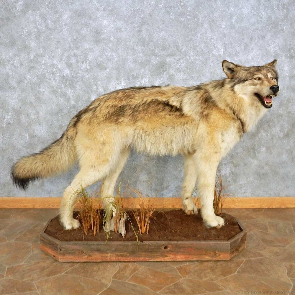 Alaskan Gray Wolf Life-Size Mount #15030 For Sale - The ...