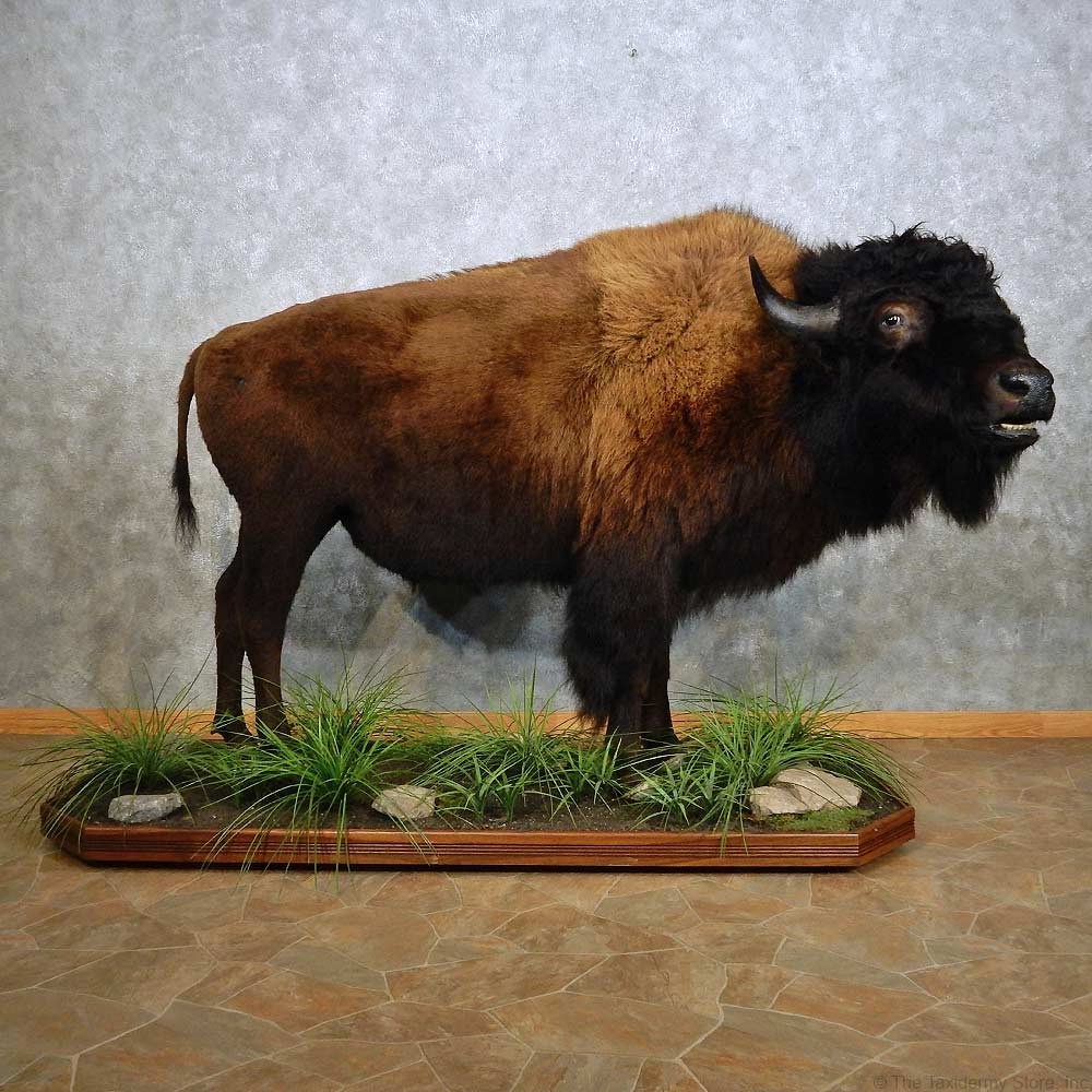 American Buffalo Life-Size Mount For Sale #14914 - The