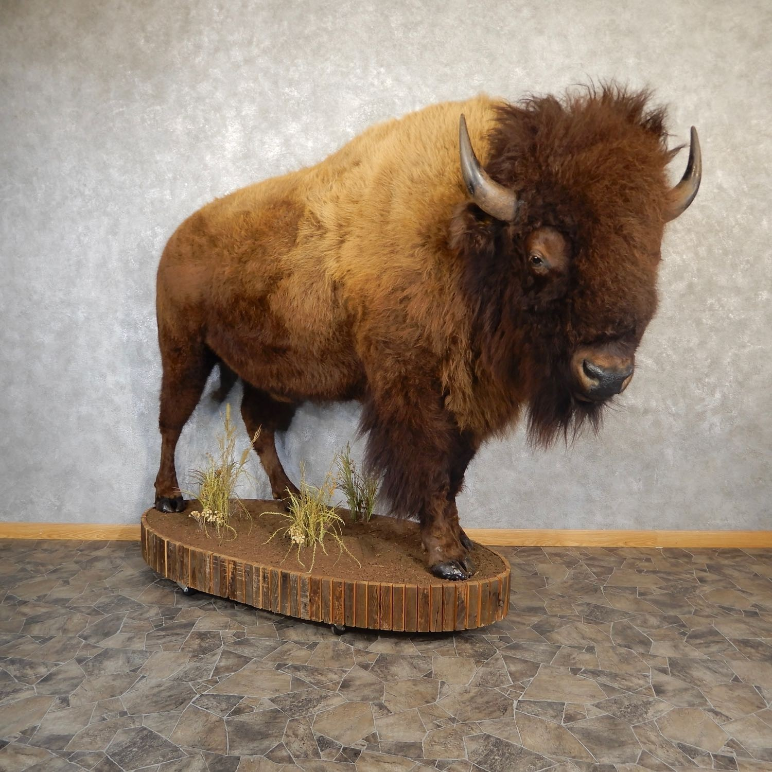 American Buffalo Shoulder Mount For Sale The