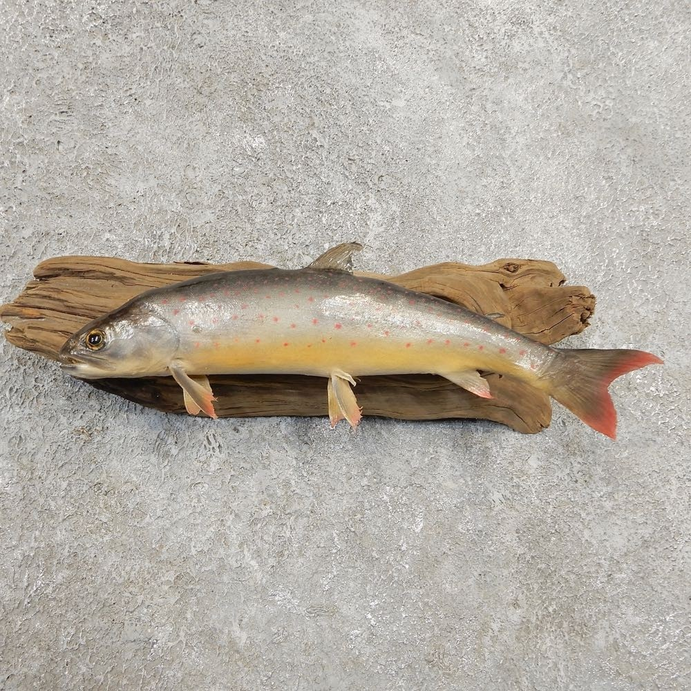 Arctic Char Fish Taxidermy Mount For Sale