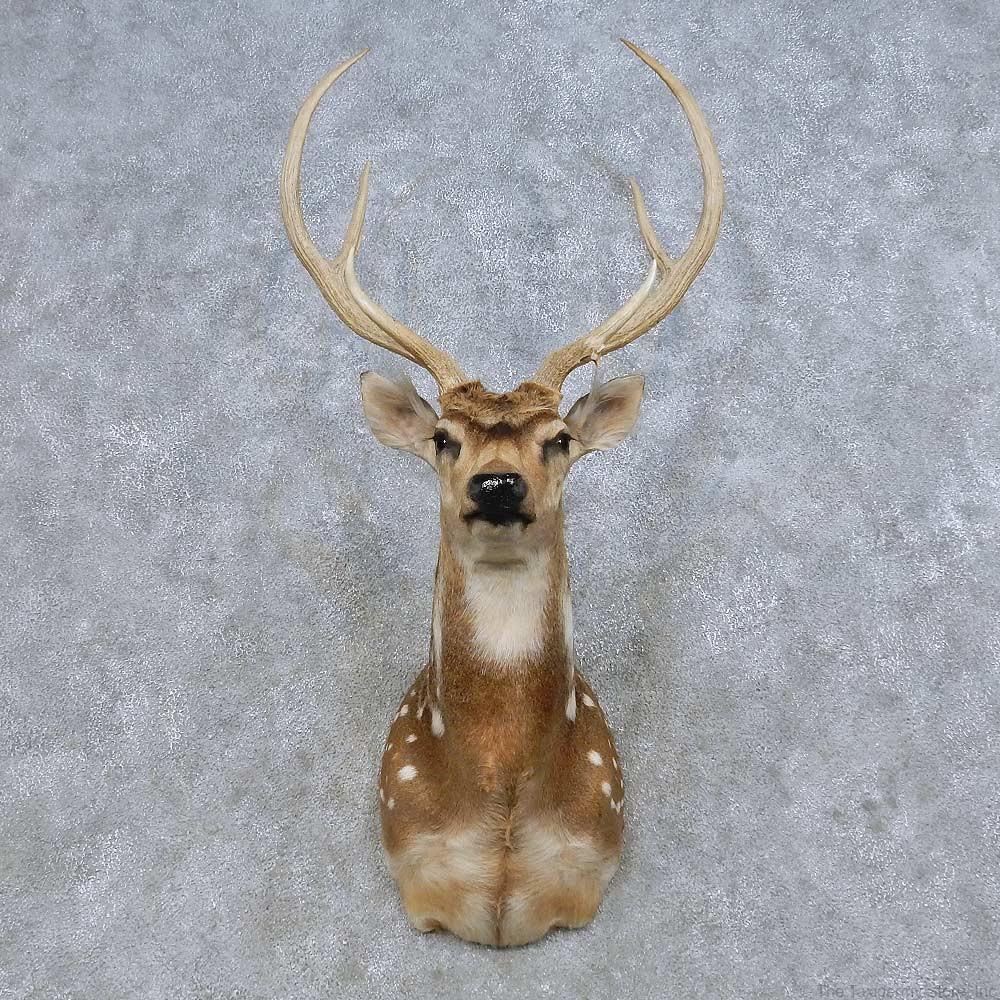 axis deer for sale
