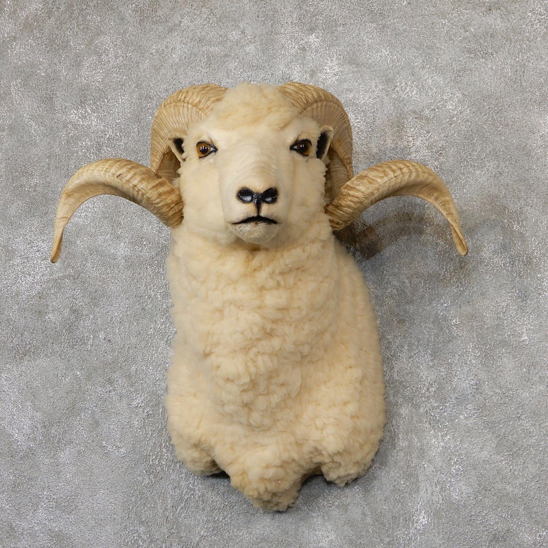 Barbados Sheep Taxidermy Shoulder Mount For Sale