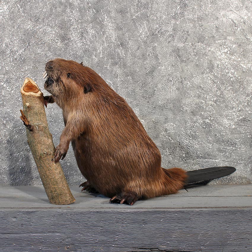 beaver mount 11502 for sale   the taxidermy store