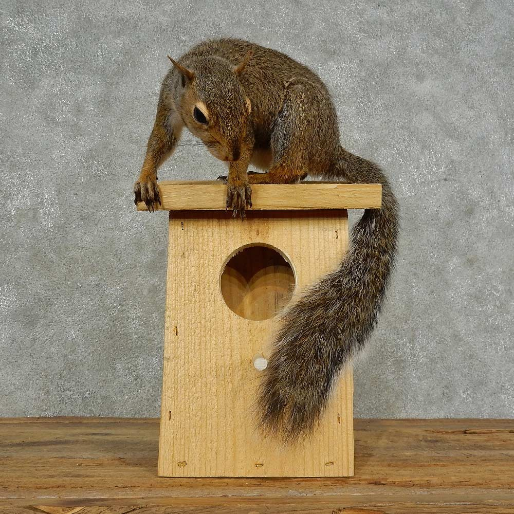 Grey Squirrel U0026 Birdhouse Mount For Sale #16839 @ The Taxidermy Store