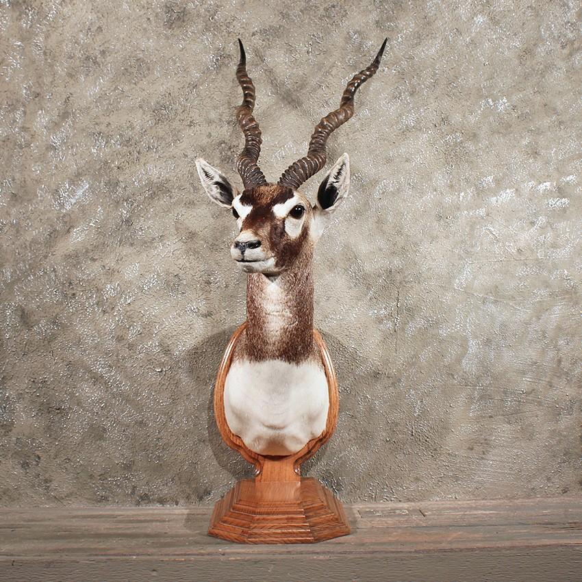 Blackbuck antelope mount - photo#26