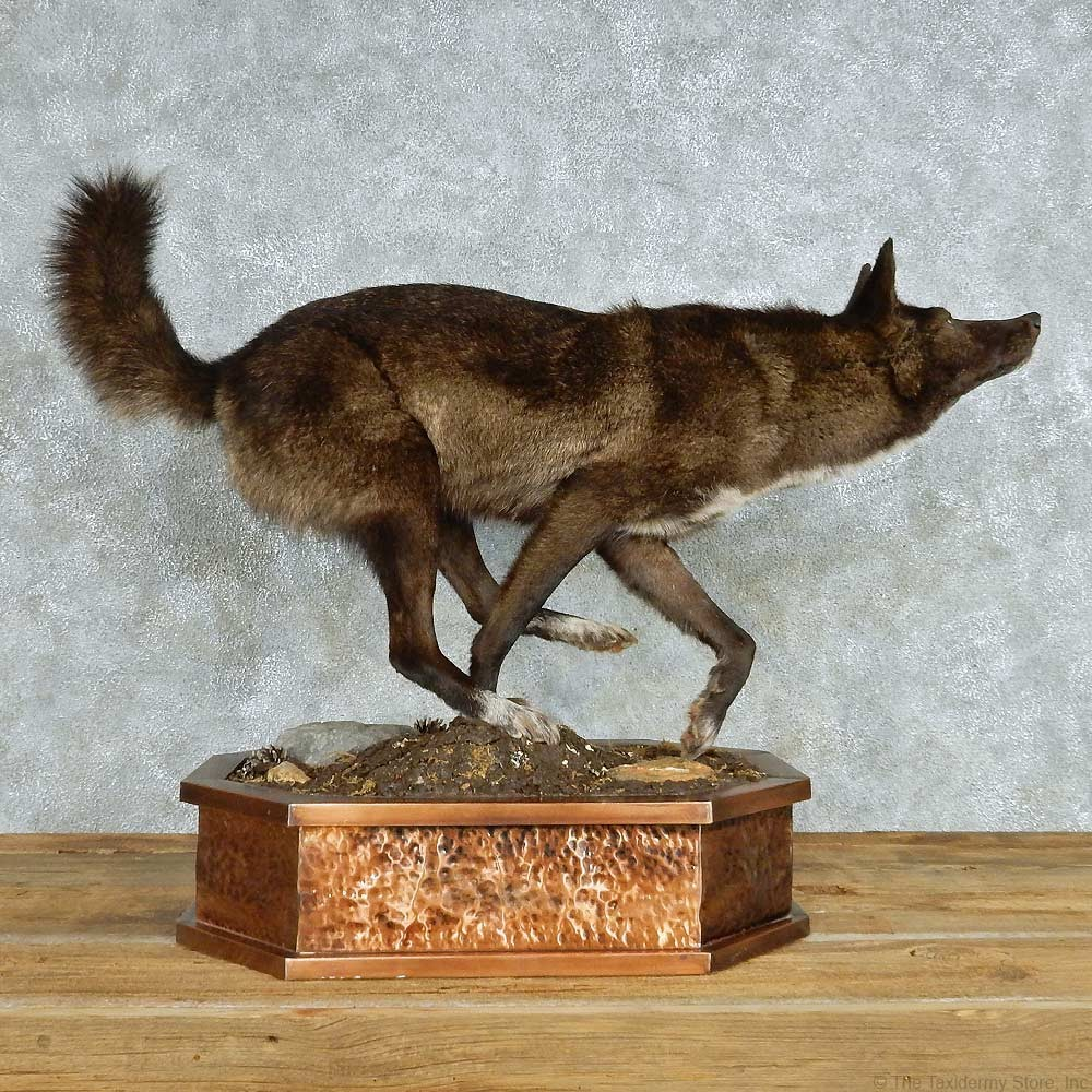 Black Coyote Life Size Taxidermy Mount #13541 - The Taxidermy Store