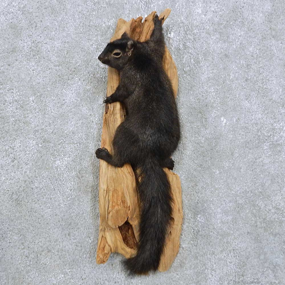Climbing Black Squirrel Mount For Sale 14888 The