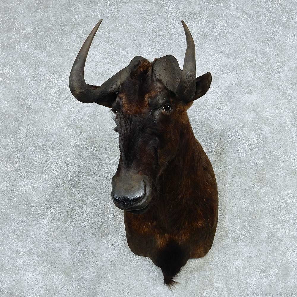 African Black Wildebeest Mount #13791 - The Taxidermy Store