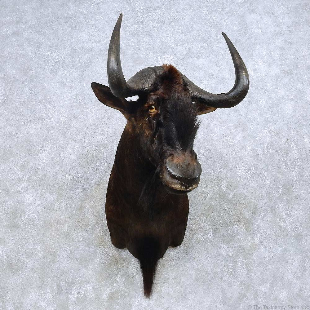 African Black Wildebeest Mount For Sale #14585 - The ...
