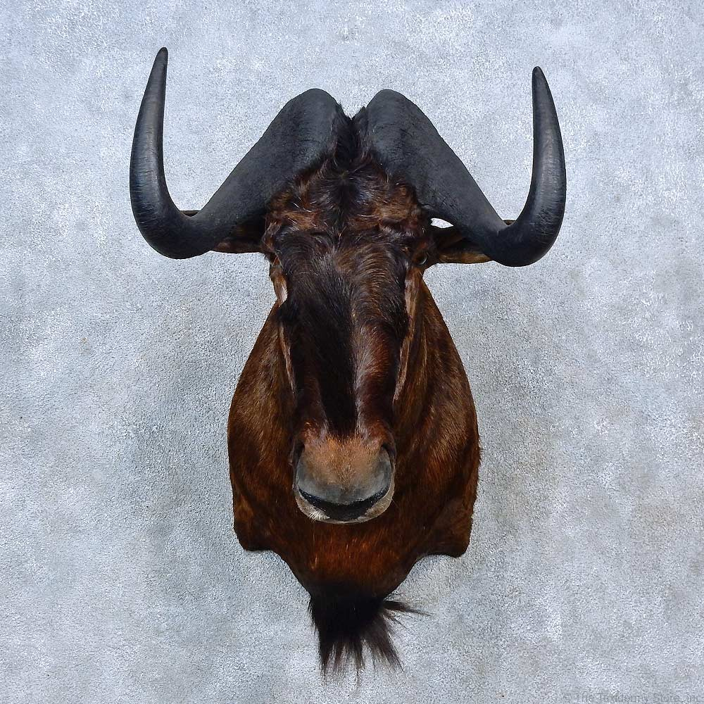 African Black Wildebeest Shoulder Mount For Sale #15291 ...