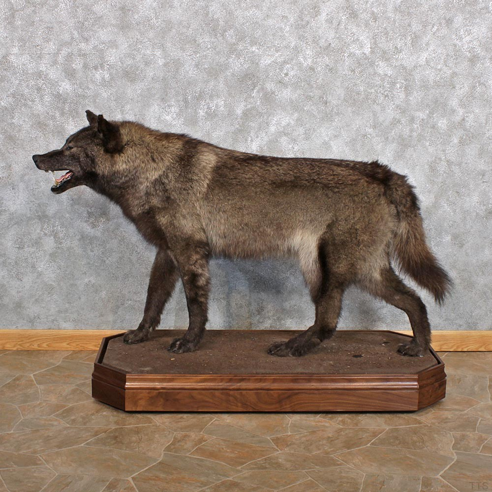 Black Wolf Taxidermy Mount #12318 - The Taxidermy Store
