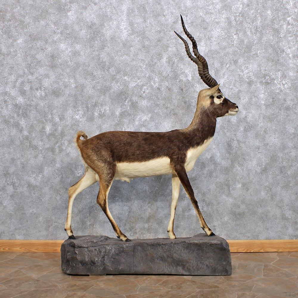 Blackbuck antelope mount - photo#21