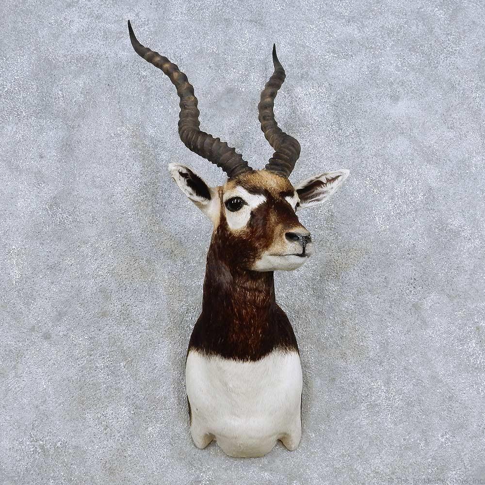 India Blackbuck Shoulder Mount For Sale 14329 For Sale