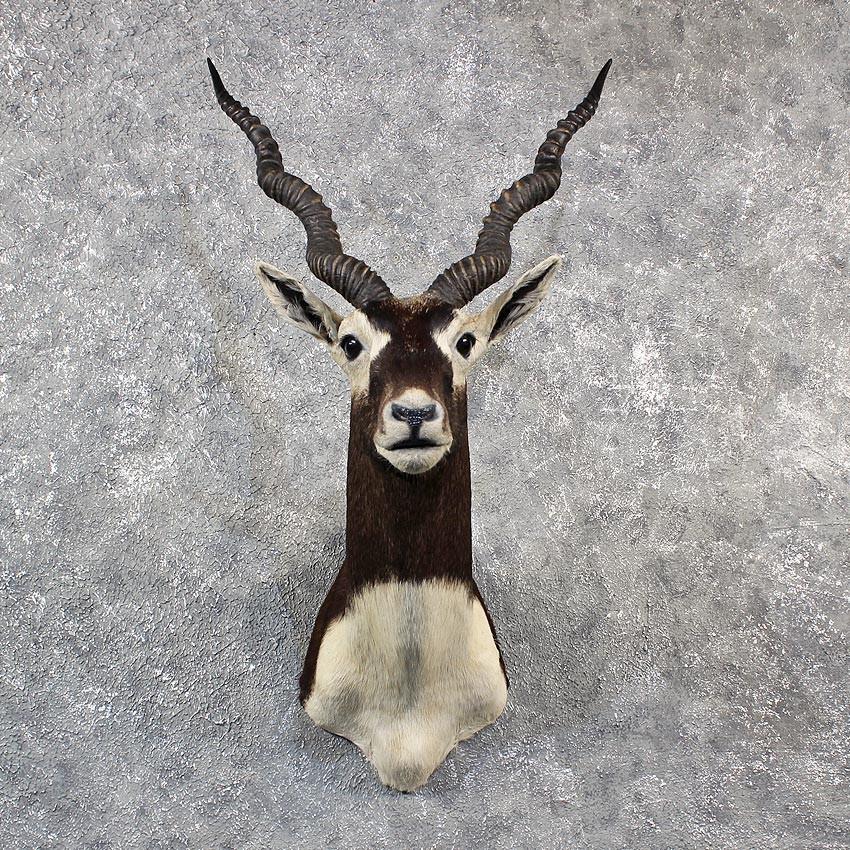 Blackbuck antelope mount - photo#3