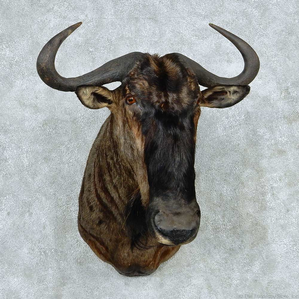 African Blue Wildebeest Mount For Sale 13788 The
