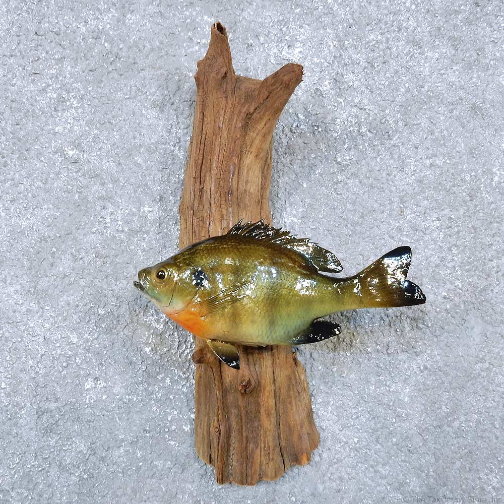 Bluegill fish mount for sale 14344 the taxidermy store for How to taxidermy a fish