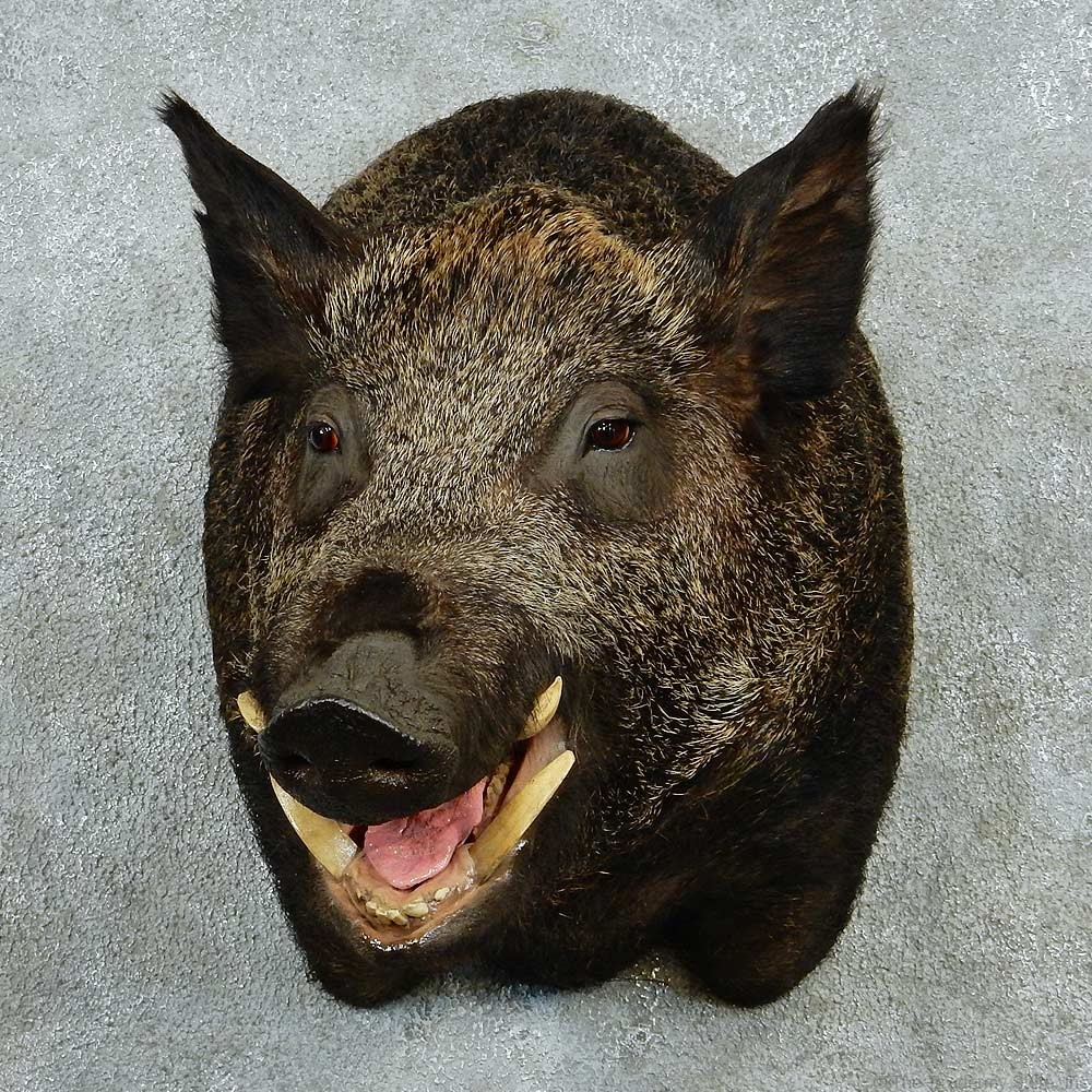 black boar shoulder for sale 13229 the taxidermy store