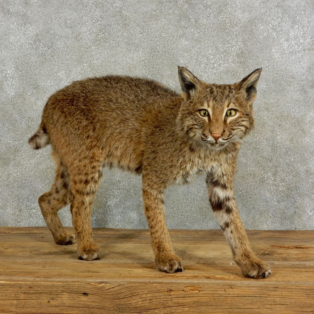 Bobcat Life Size Mount For 17047 The Taxidermy
