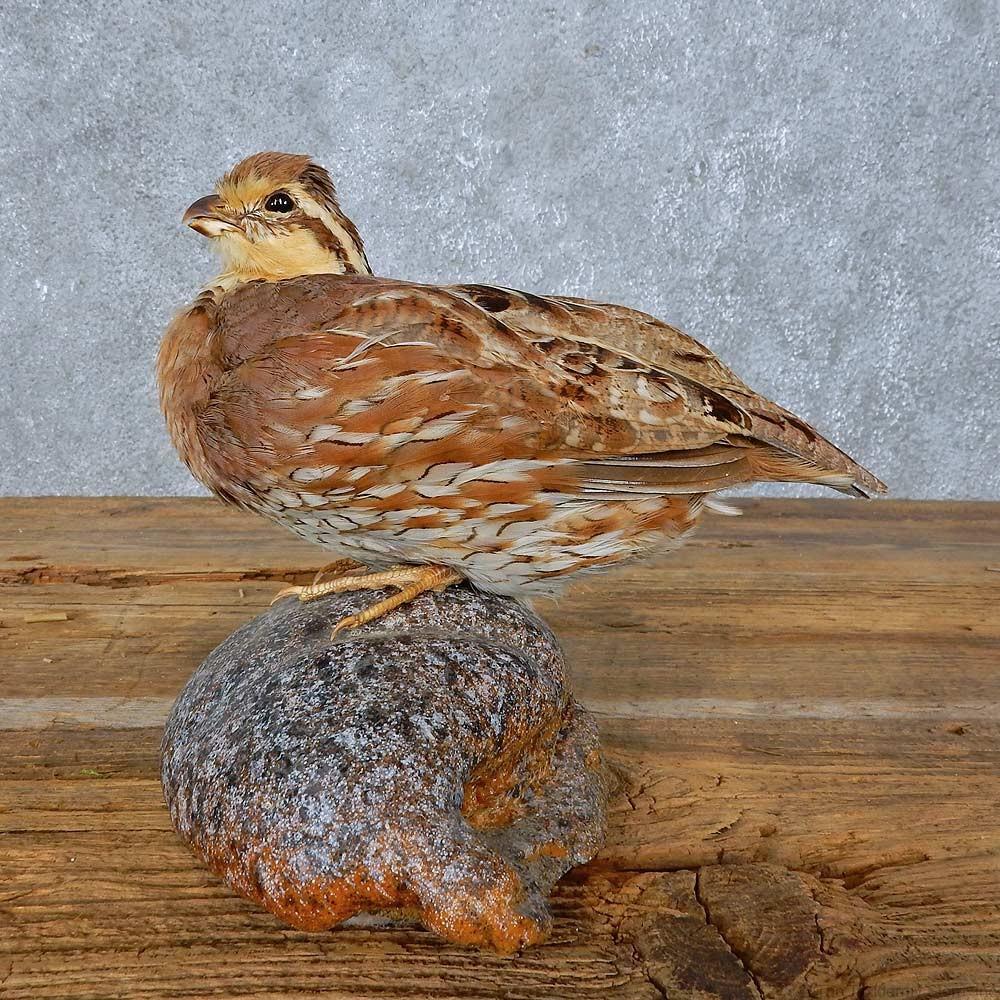 Bobwhite Quail Bird Mount For Sale #15412 - The Taxidermy Store