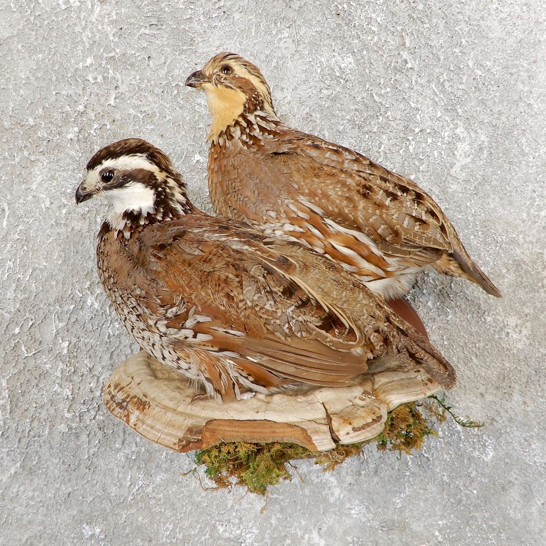 Bobwhite Quail Pair Bird Mount For Sale #19747 - The