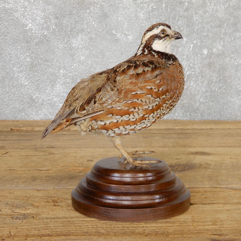 Bobwhite Quail Bird Mount For Sale #19791 - The Taxidermy Store