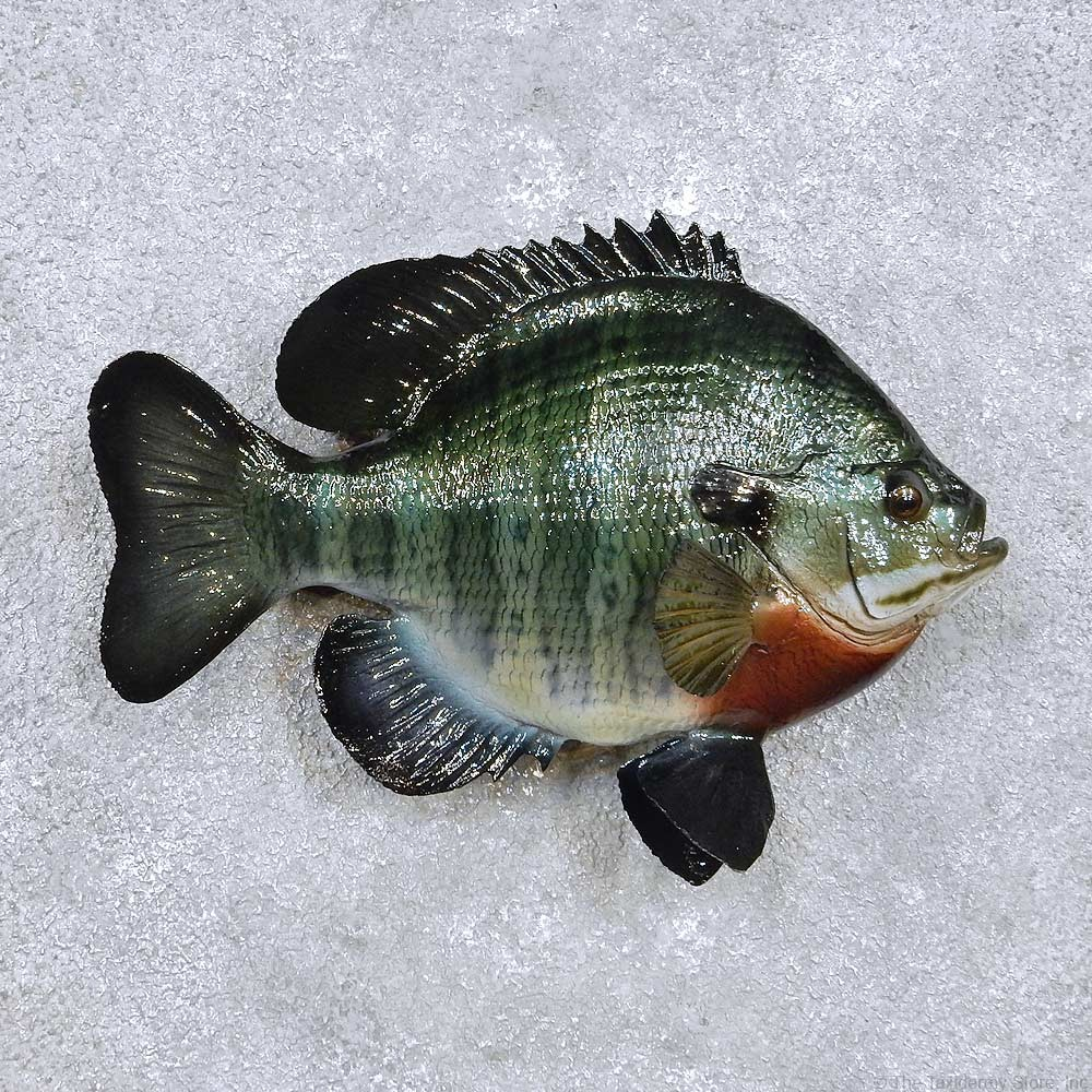 Bluegill fish mount for sale 14219 the taxidermy store for How to mount a fish