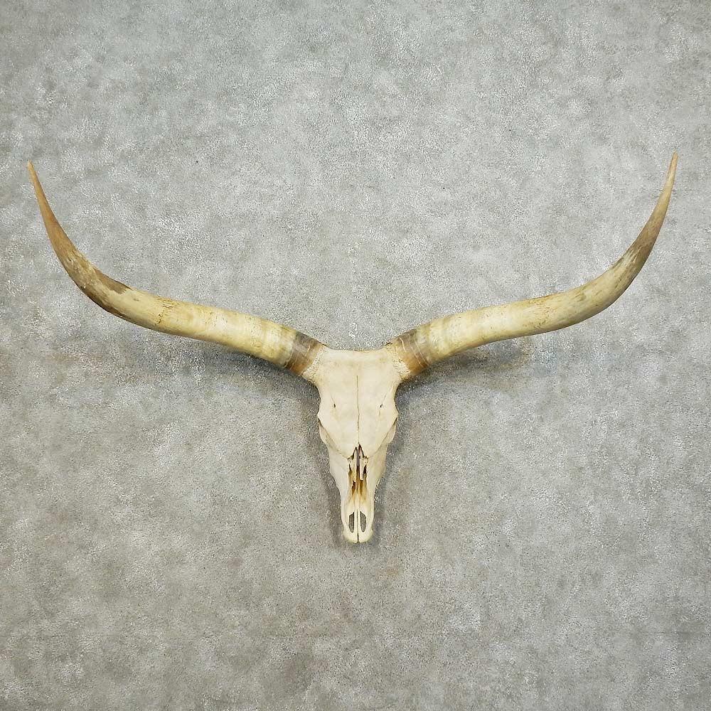 bull skull u0026 horn european mount for sale 15883 the taxidermy store