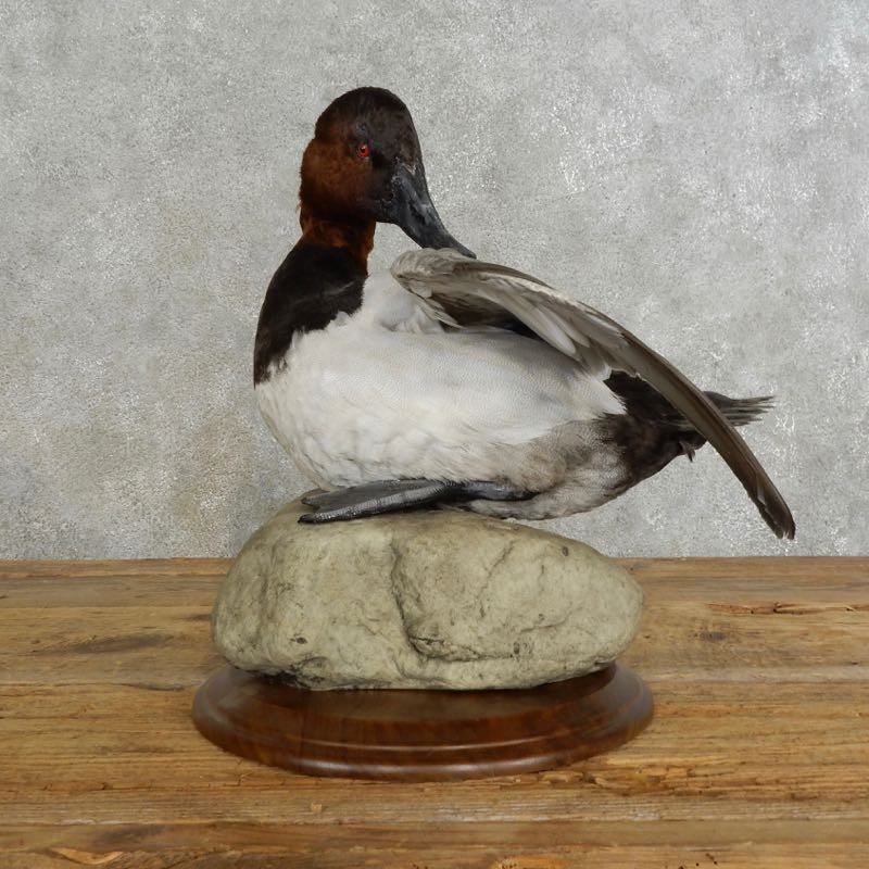 Canvas Back Duck Bird Mount For Sale #17224 - The Taxidermy