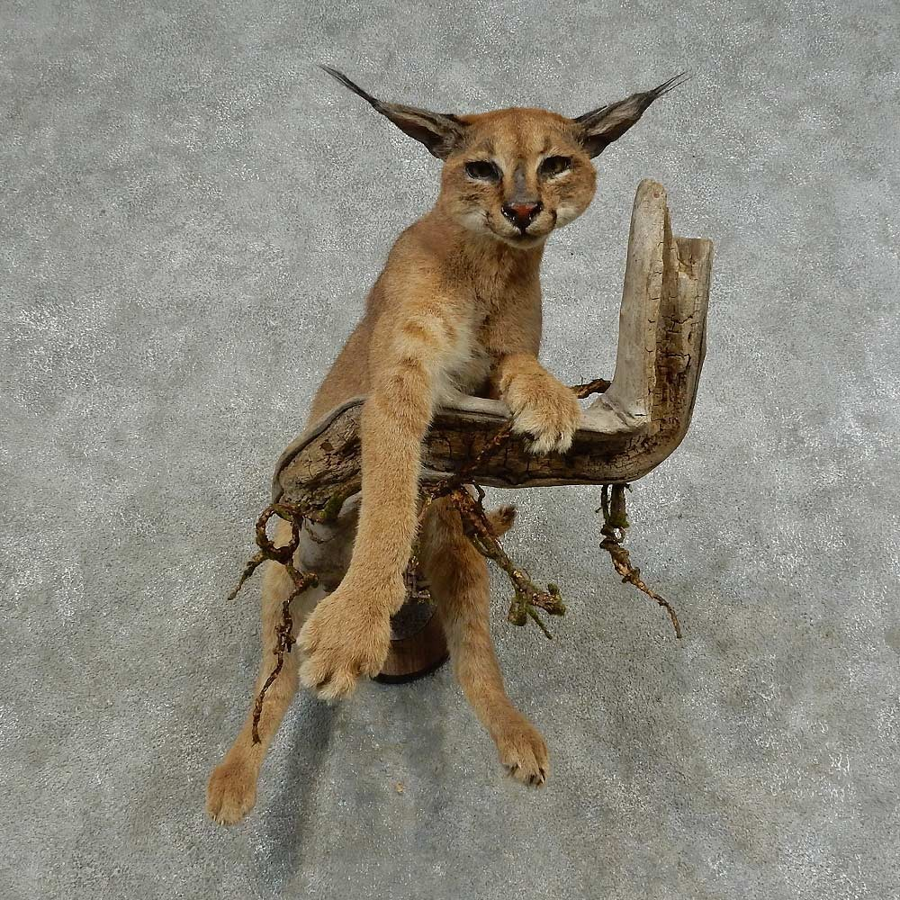 [Image: caracal-cat-life-size-mount-for-sale-_16...-store.jpg]