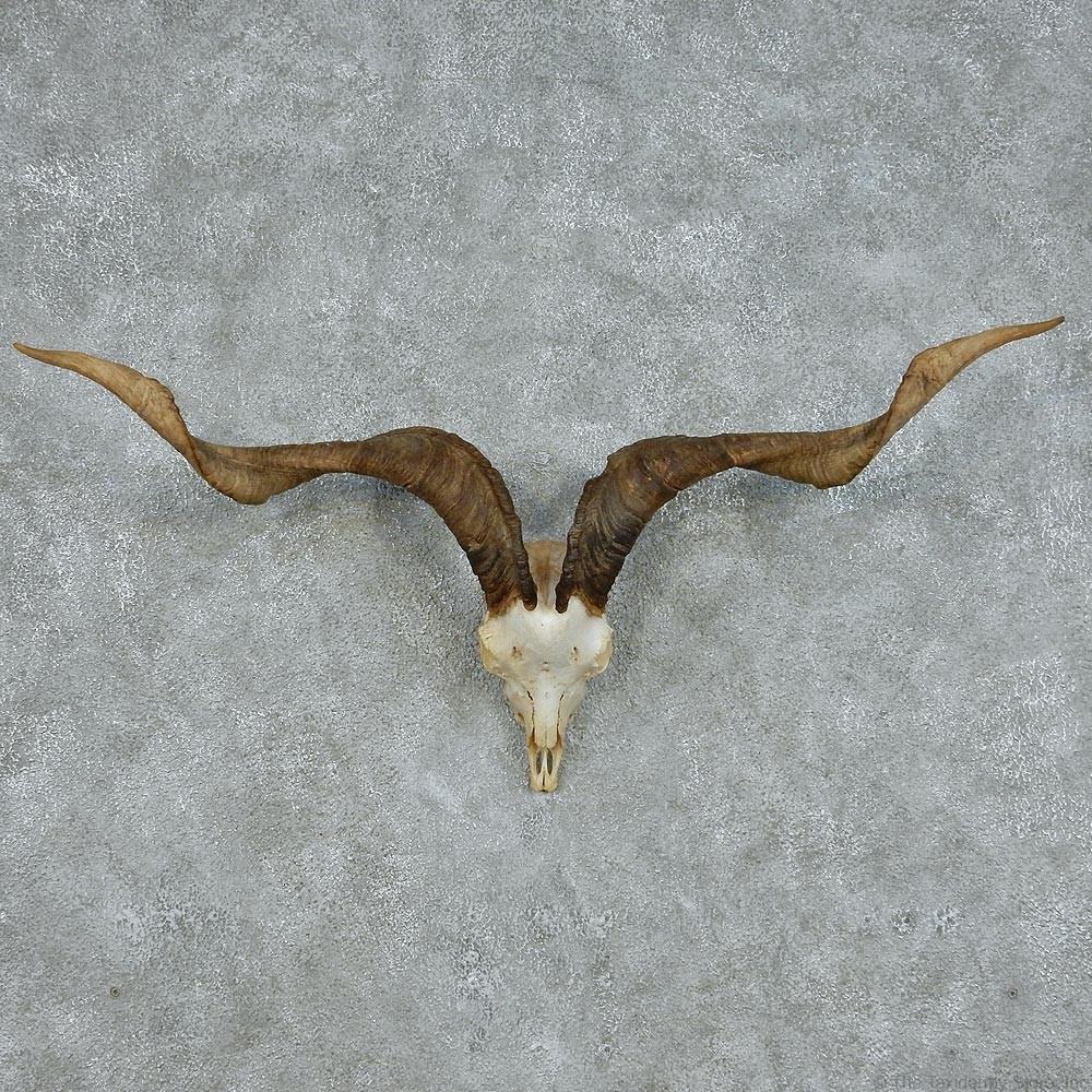 Catalina Goat Skull Amp Horns For Sale 13100 The