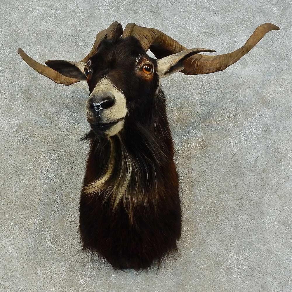 Catalina Goat Shoulder Mount For Sale #16463 - The ...