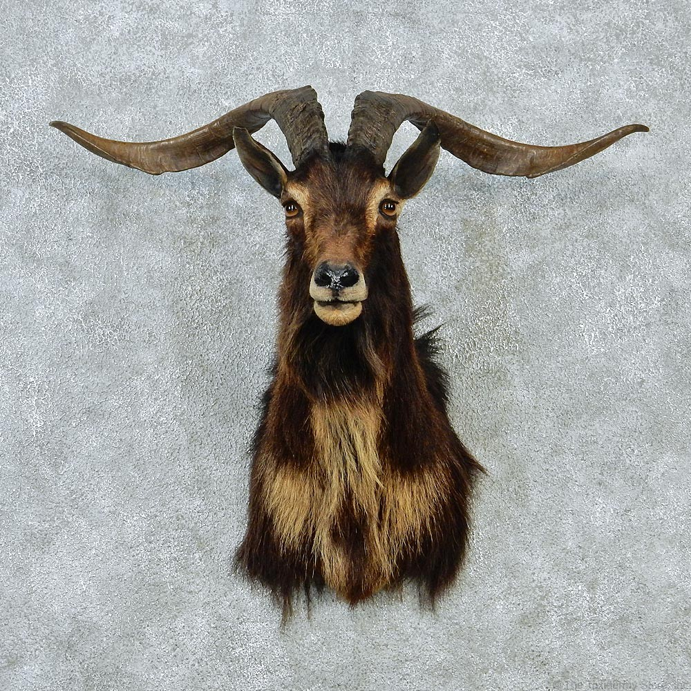 Black Catalina Goat Mount #12844 - The Taxidermy Store