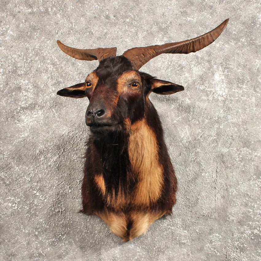 Black Catalina Goat Mount #11452 - The Taxidermy Store