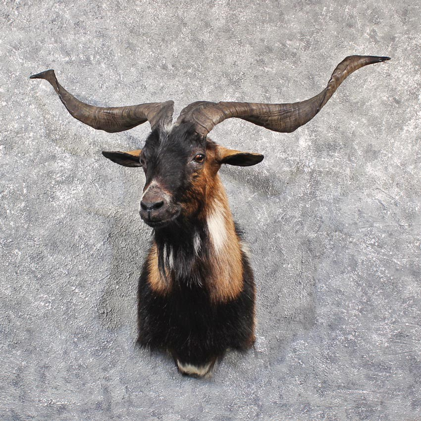 Black Catalina Goat Mount #11643 - The Taxidermy Store