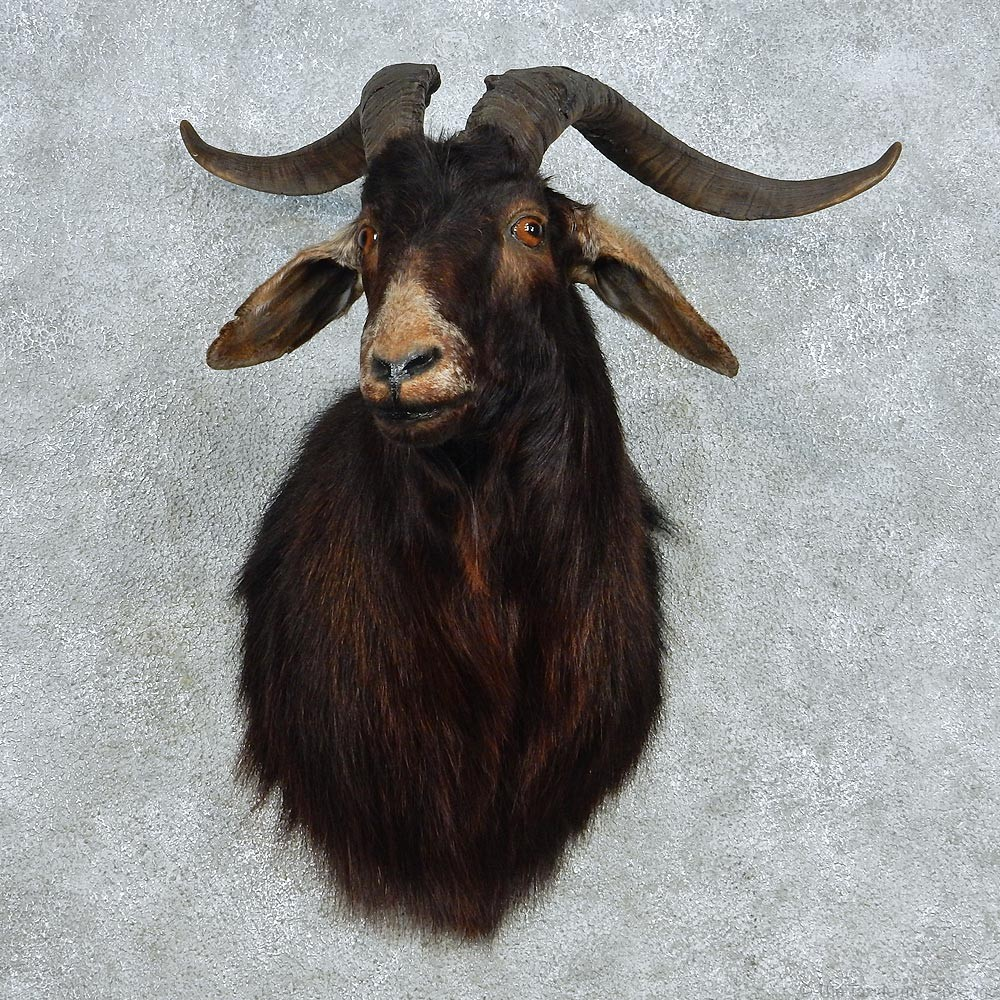 White Catalina Goat Mount #13069 - The Taxidermy Store