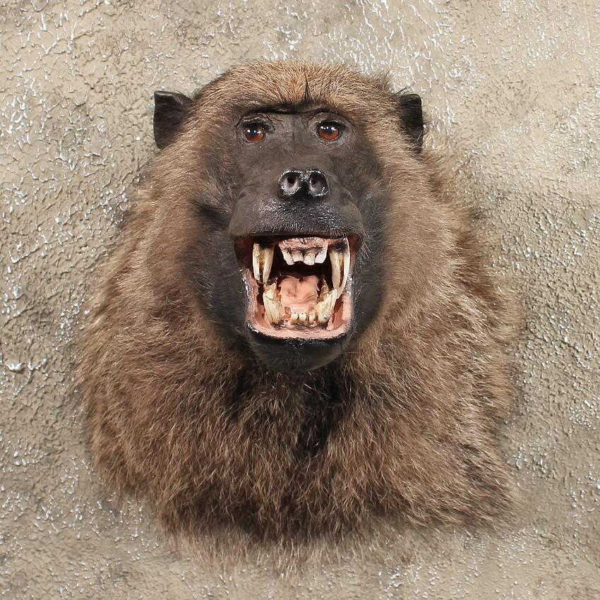 Chacma baboon - photo#9
