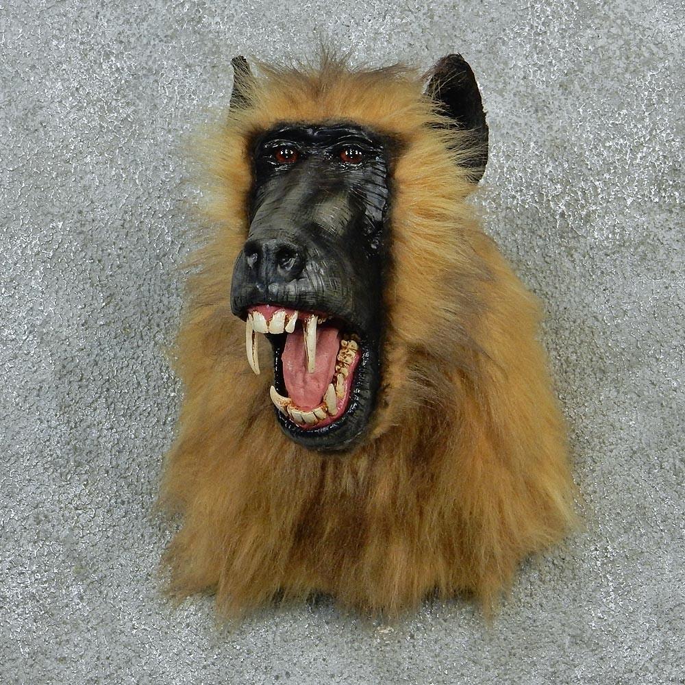 Chacma baboon skull