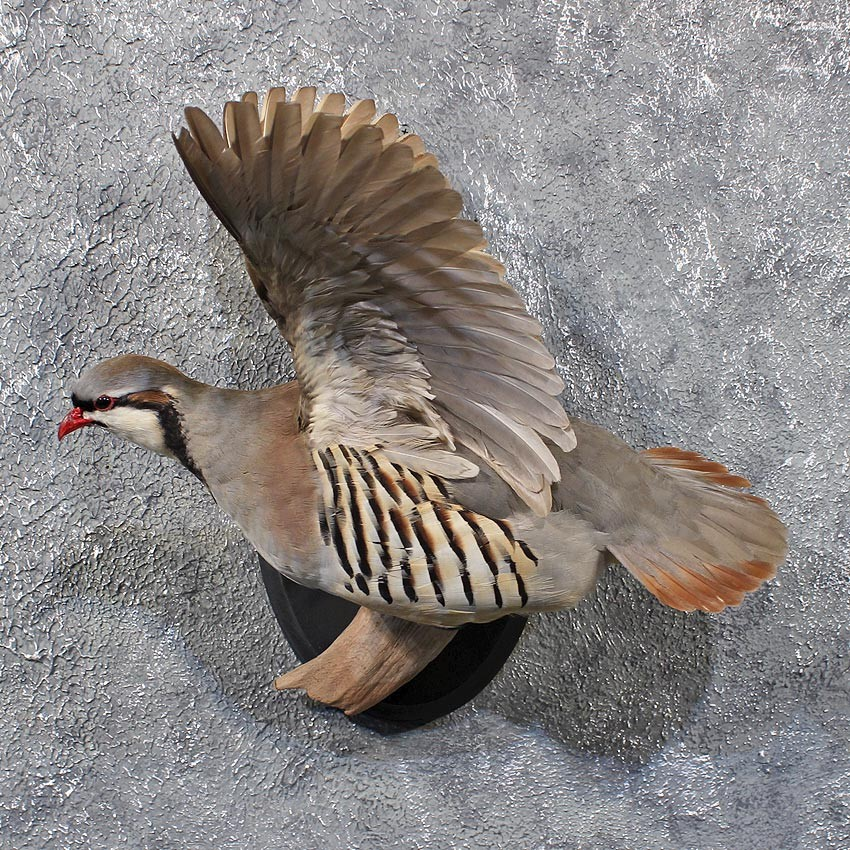 Chukar Flying Taxidermy Mount 11718 The Taxidermy Store