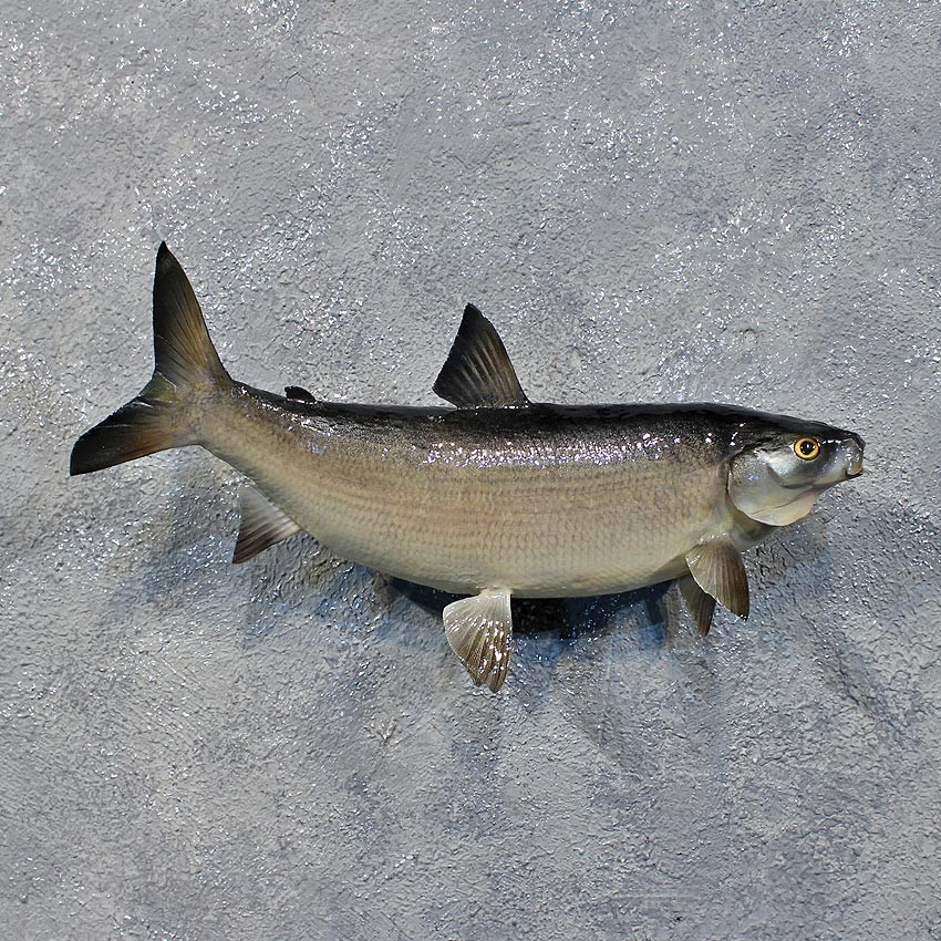 Cisco fish mount for sale 12228 the taxidermy store for Fish mounts for sale