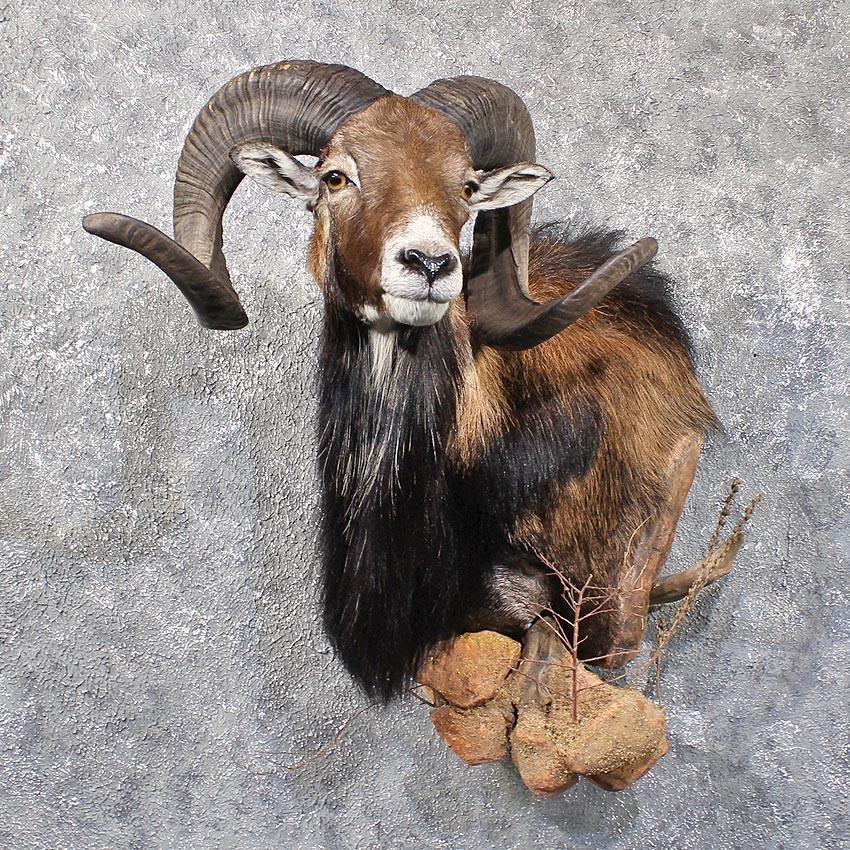1000  images about Spiritual: Mouflon Ram on Pinterest