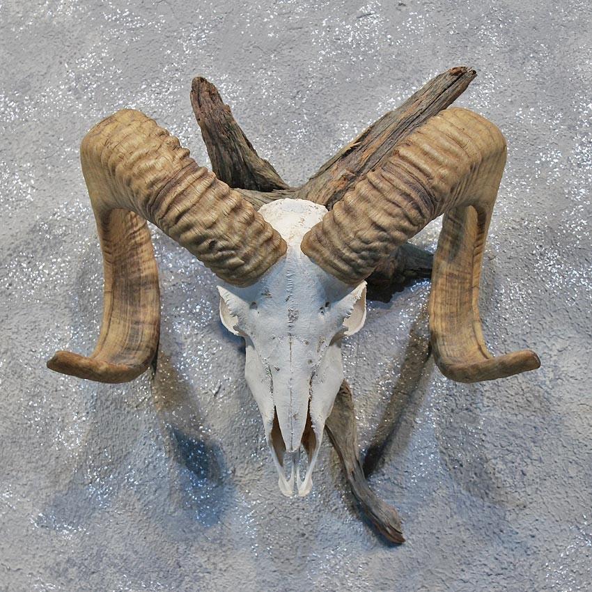 Corsican Ram Skull & Horns #12183 - The Taxidermy Store Horns