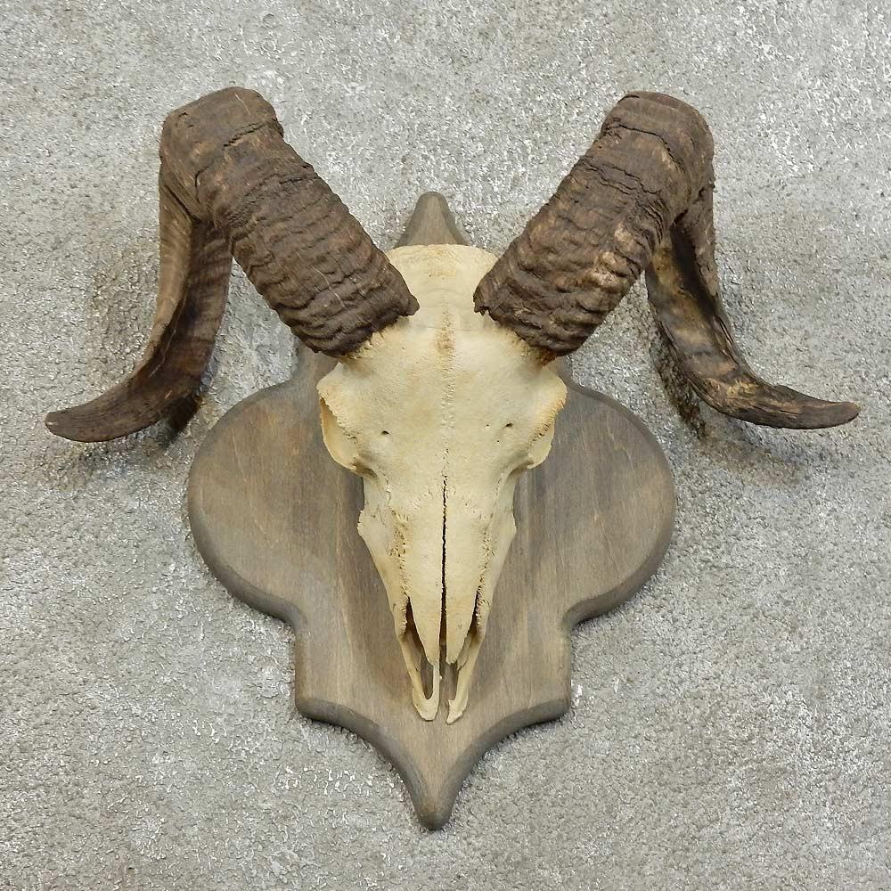 Corsican Ram Skull European Mount For Sale 16006 The