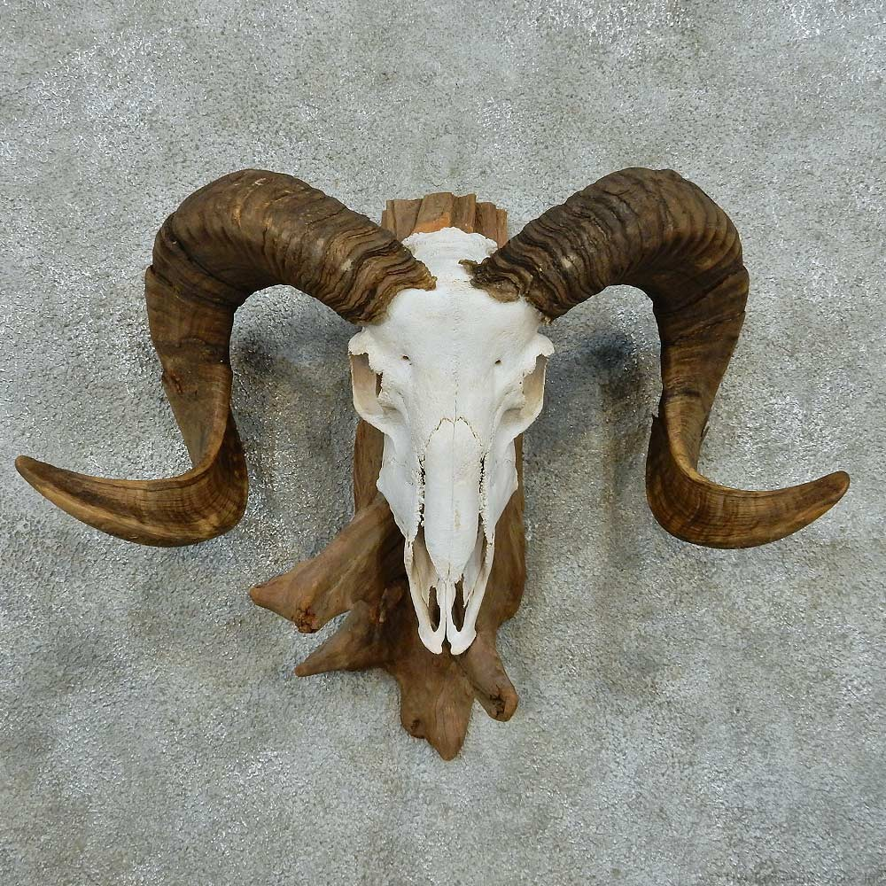 Corsican Ram Skull & Horns Mount #13598 - The Taxidermy Store Horns