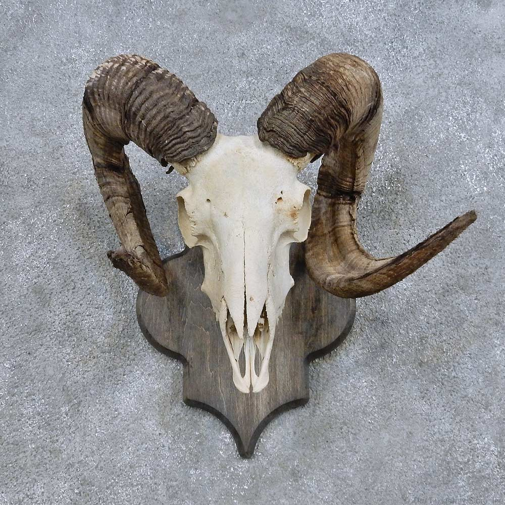 Corsican Ram Skull European Mount 14685 For Sale The