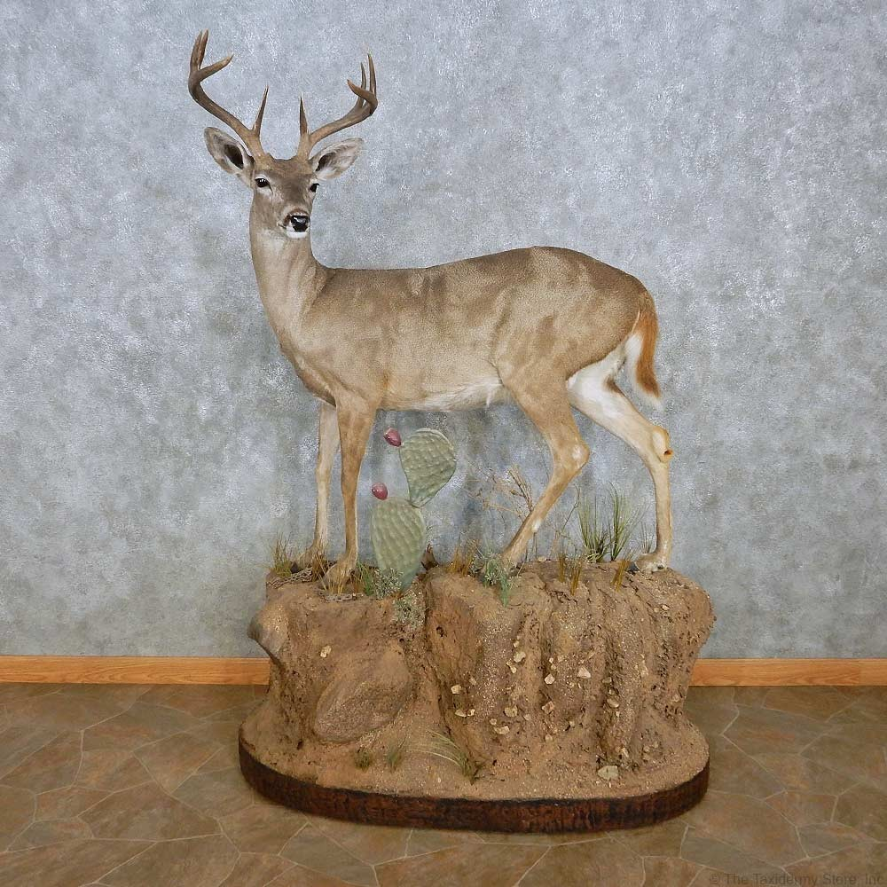 Coues Deer Life Size Mount For Sale 15119 The Taxidermy