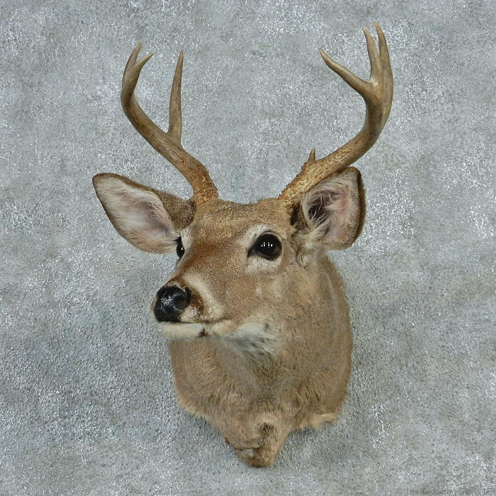 Coues Whitetail Deer Mount 12743 The Taxidermy Store