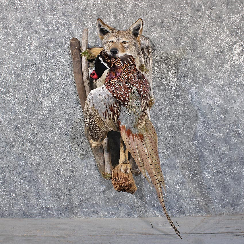 Coyote Mount w/ Pheasant #11774 For Sale @ The Taxidermy Store Pheasant Call