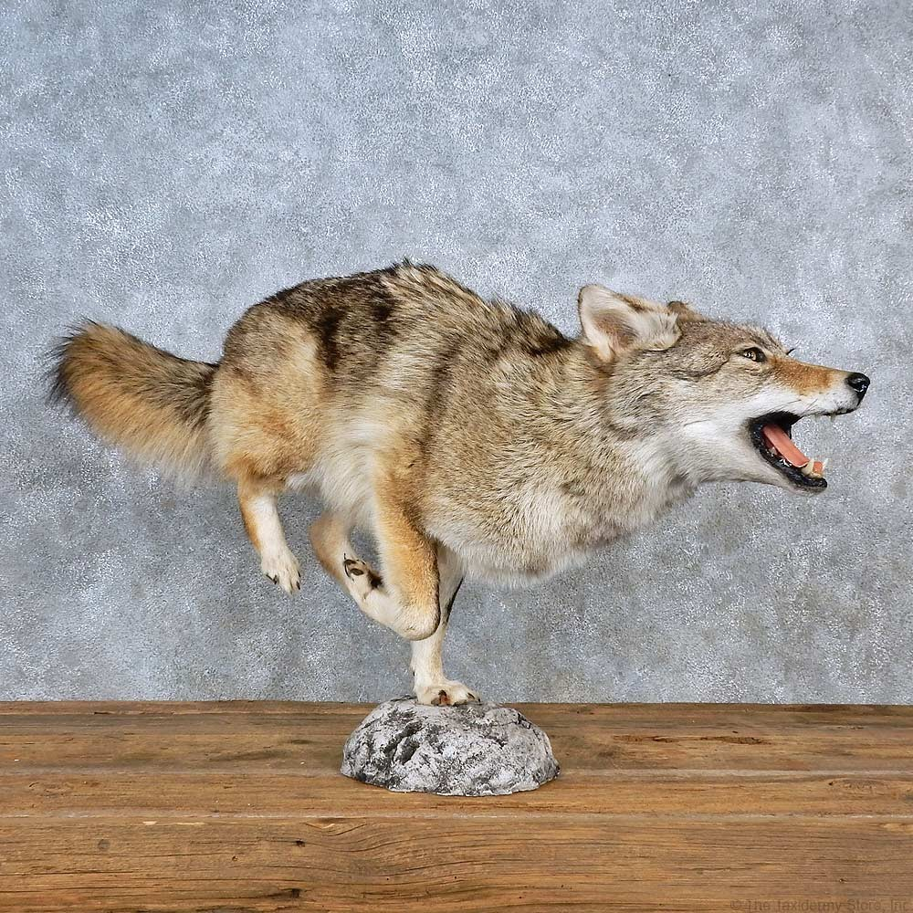 Coyote Life-Size Mount For Sale #15596 - The Taxidermy Store  Coyote Life-Siz...