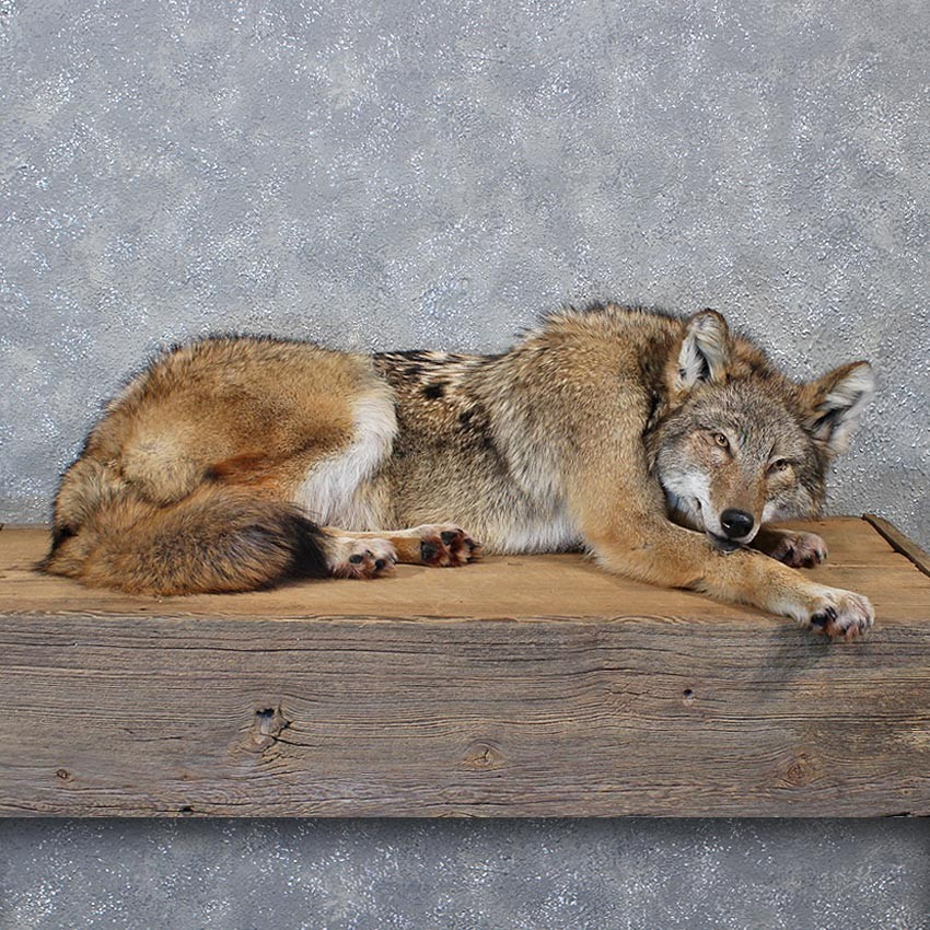 Difference Between Fox And Coyote: Coyote Size Coyote Size People Have Raised Full Blooded Wolves