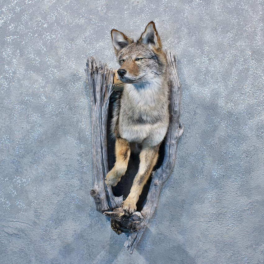 Coyote Mount 12004 For Sale The Taxidermy Store